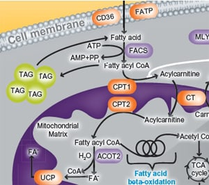 importance of peroxisomal proteins in the Peroxisomes play a key role in the oxidation of specific biomolecules   transporter proteins (which take up the enzymes from the cytoplasm) of the  peroxisome.