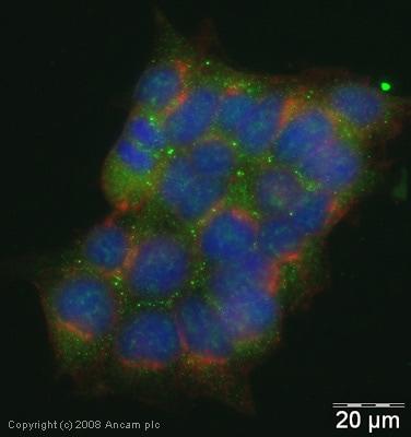 Immunocytochemistry/ Immunofluorescence - Anti-Lipocalin-2 / NGAL antibody (ab41105)