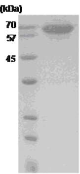 SDS-PAGE - Hsp70 protein (His tag) (ab48997)