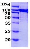 SDS-PAGE - Aconitase 1 protein (ab103501)