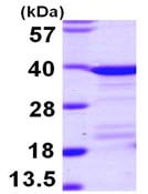 SDS-PAGE - EEF1D protein (ab104755)