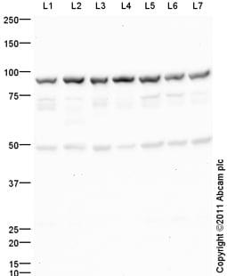 Western blot - Anti-HSF1 antibody (ab105086)