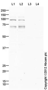 Western blot - Anti-Topoisomerase III alpha antibody (ab108493)