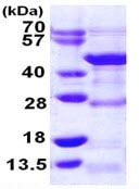 SDS-PAGE - DRG1 protein (ab109940)