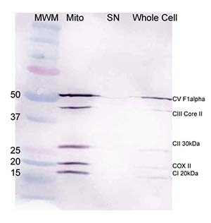 Western blot - Mitochondria Isolation Kit for Cultured Cells (with Dounce Homogenizer) (ab110171)