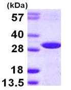 SDS-PAGE - DCUN1D2 protein (ab113157)