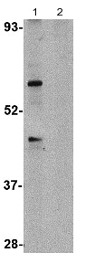 Western blot - Anti-TRIM25 antibody (ab115737)