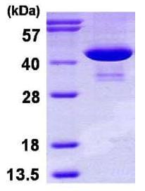 SDS-PAGE - Phosphoserine Aminotransferase protein (His tag) (ab116152)
