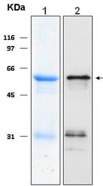 Western blot - Smac / Diablo protein (ab116425)