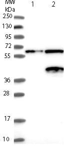 Western blot - Anti-NGDN antibody (ab121124)