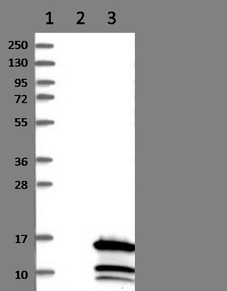 Western blot - Anti-CCDC23 antibody (ab121282)