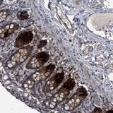 Immunohistochemistry (Formalin/PFA-fixed paraffin-embedded sections) - Anti-C6orf130 antibody (ab122032)