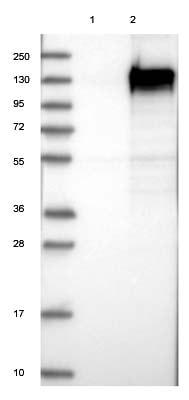 Western blot - Anti-FAM184A antibody (ab122215)