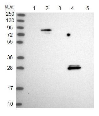 Western blot - Anti-SPIN4 antibody (ab122870)