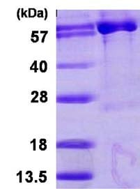 SDS-PAGE - PAPSS1 protein (ab123177)