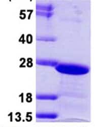 SDS-PAGE - HP1 gamma protein (ab124548)
