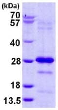 SDS-PAGE - Pallidin protein (His tag) (ab124579)