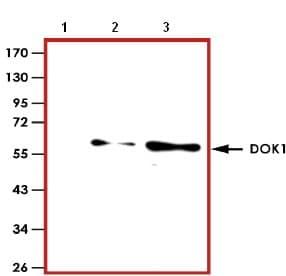 Western blot - Anti-DOK1 antibody (ab126806)