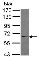 Western blot - Anti-ASC1 antibody (ab127537)