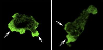 Immunocytochemistry/ Immunofluorescence - Anti-PIP2 antibody (ab2335)