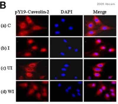 Immunocytochemistry/ Immunofluorescence - Anti-Caveolin-2 (phospho Y19) antibody (ab3417)