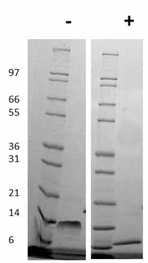 Other-SDF1 beta protein (Active)(ab78611)