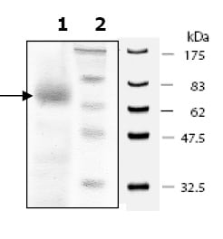 SDS-PAGE - SIRT6 protein (Tagged) (ab80212)