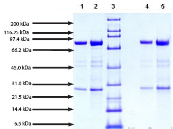 SDS-PAGE - Calpain 1 protein (Active) (ab91019)