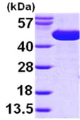SDS-PAGE - surA protein (ab99241)