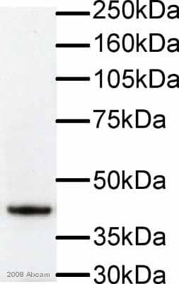 Western blot - Anti-F-actin antibody [NH3] (ab205)