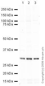 Western blot - Anti-PCNA antibody [PC10] (ab29)