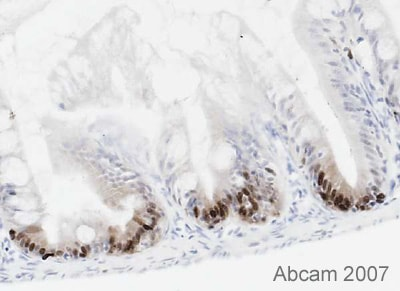 Immunohistochemistry (Frozen sections) - Anti-PCNA antibody [PC10] (ab29)
