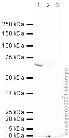 Western blot - Anti-Placental alkaline phosphatase (PLAP) antibody [8B6] (ab33)