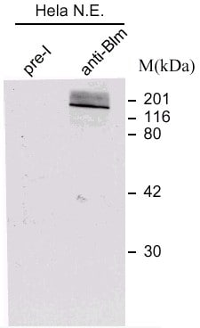 Western blot - Anti-Blooms Syndrome Protein Blm antibody (ab476)