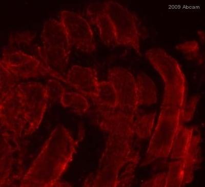 Immunohistochemistry (Frozen sections) - Anti-Glucose Transporter GLUT4 antibody (ab654)