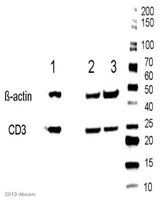 Western blot - Anti-CD3 antibody [PS1] (ab699)