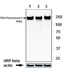 Western blot - Anti-RNA polymerase II CTD repeat YSPTSPS antibody [8WG16] - ChIP Grade (ab817)
