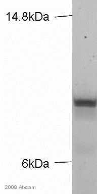 Western blot - Anti-Kappa light chain antibody [MEM-09] (ab1050)