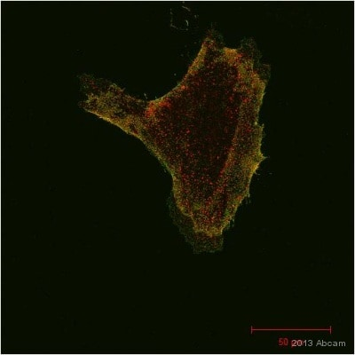 Immunocytochemistry/ Immunofluorescence - Anti-GFP antibody [9F9.F9] (ab1218)