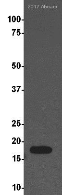 Western blot - Anti-Histone H3 (di methyl K9) antibody [mAbcam 1220] - ChIP Grade (ab1220)