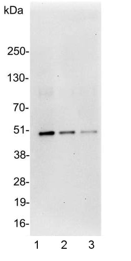 Western blot - Anti-DDDDK tag (Binds to FLAG® tag sequence) antibody (ab1257)