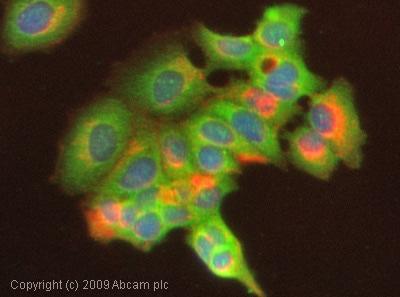 Immunocytochemistry/ Immunofluorescence - Dual color: FITC + PE Mouse IgG1monoclonal [HybIgG1] - isotype control (ab1285)