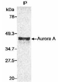 Immunoprecipitation - Anti-Aurora A antibody (ab1287)