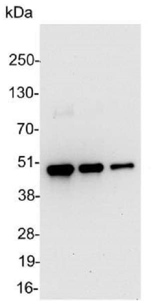 Western blot - Anti-V5 tag antibody (HRP) (ab1325)