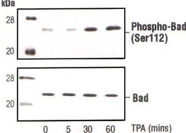 Western blot - Anti-Bad (phospho S112) antibody (ab1435)