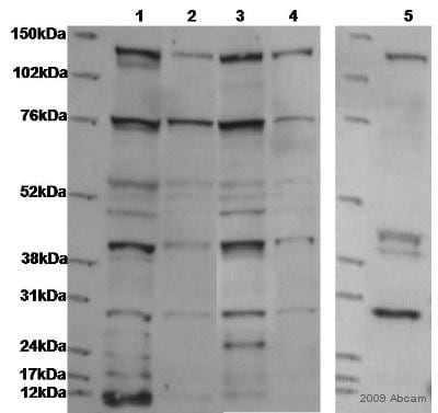Western blot - Anti-PI 3 Kinase p110 delta antibody (ab1678)