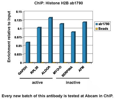 ChIP - Anti-Histone H2B antibody - ChIP Grade (ab1790)