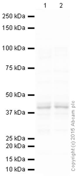 Western blot - Anti-Myogenin antibody [F5D] (ab1835)