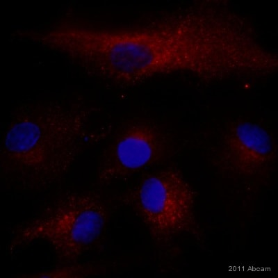 Immunocytochemistry/ Immunofluorescence - Anti-BNIP3 antibody [ANa40] (ab10433)