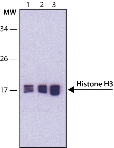 Western blot - Anti-Histone H3 (phospho S28) antibody [HTA28] (ab10543)